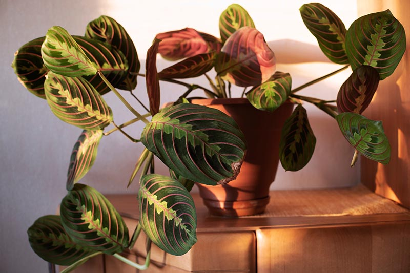 A close up horizontal image of a decorative prayer plant growing in a small terra cotta pot in light filtered sunshine.