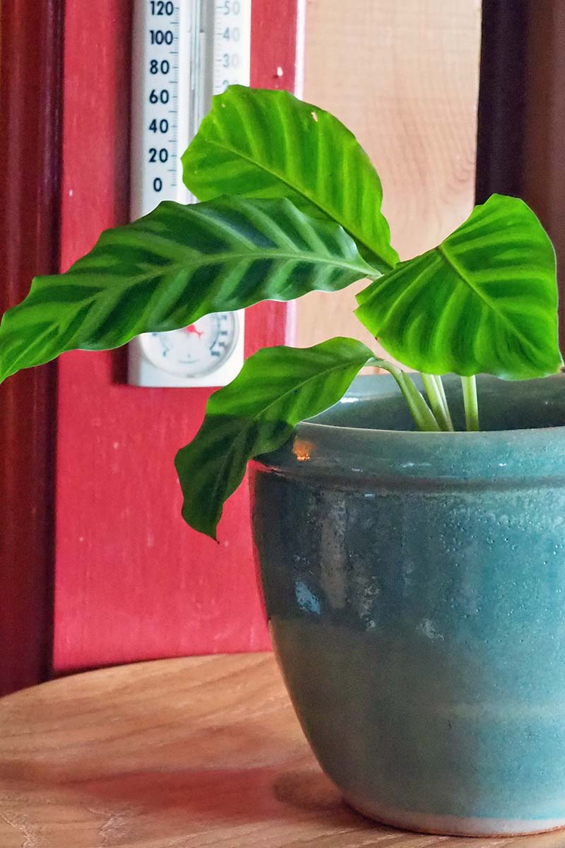 A close up vertical image of a houseplant in a teal ceramic pot set on a wooden surface, with a thermometer in the background.