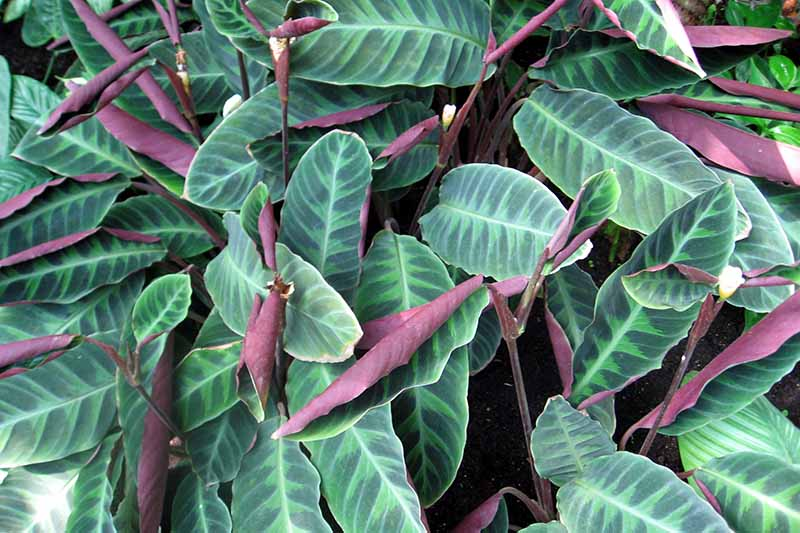 A close up horizontal image of the foliage of Goeppertia warszewiczii growing in the garden.