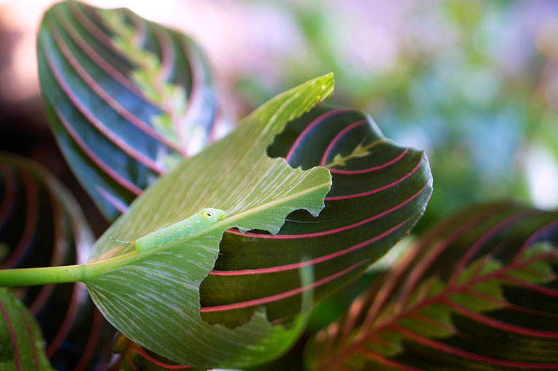 A close up horizontal image of a prayer plant leaf with a caterpillar munching holes in the foliage, pictured on a soft focus background.