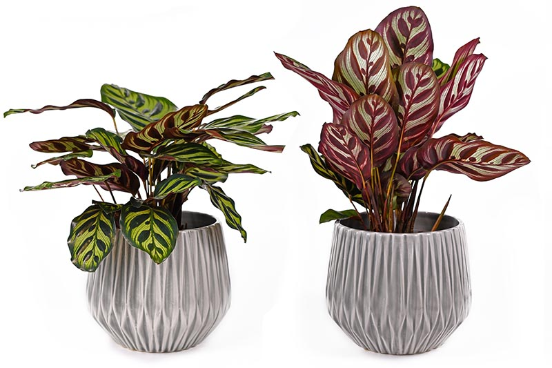 A close up horizontal image of two prayer plants: the left showing the foliage during the day, the one on the right showing the leaves lifted up at night, pictured on a white background.