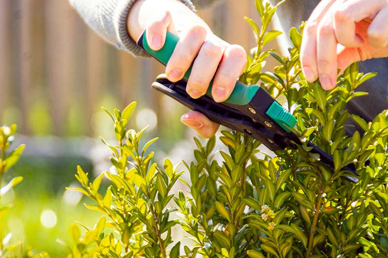 A close up horizontal image of a gardener pruning a bush in the garden, pictured in light filtered sunshine on a soft focus background.