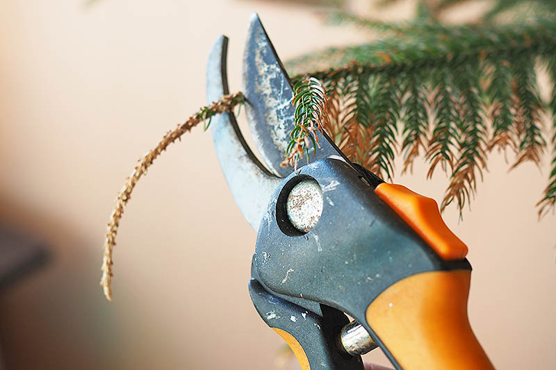 A close up horizontal image of a pair of pruners cutting the end off a Christmas tree leaf, pictured on a soft focus background.