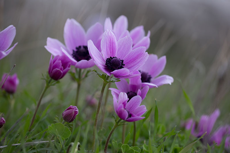 A close up horizontal image of light purple anemone flowers growing in the garden pictured on a soft focus background.