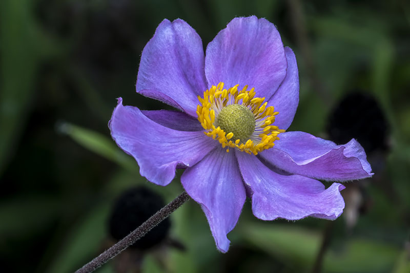 A close up horizontal image of a purple Japanese anemone flower with a green and yellow center, pictured on a soft focus background.
