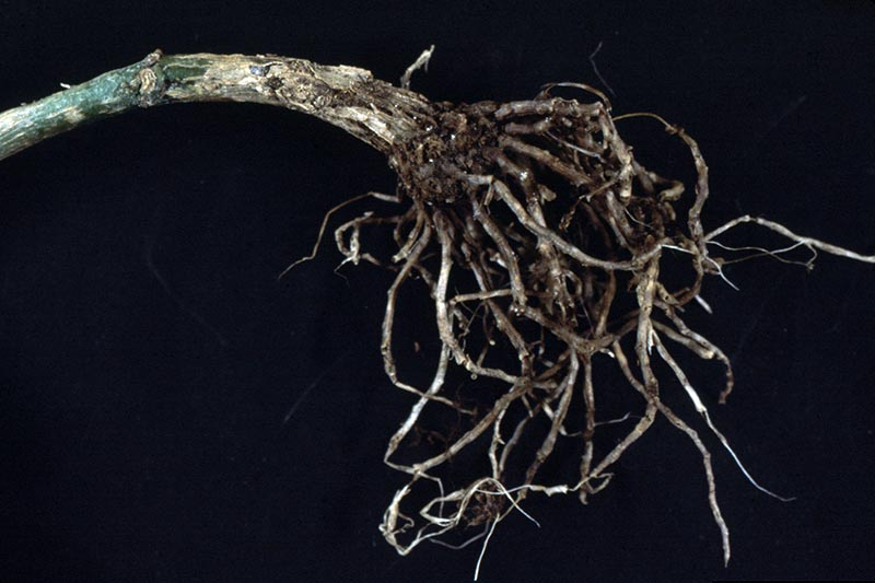 A close up horizontal image of roots suffering from Pythium root rot pictured on a black background.
