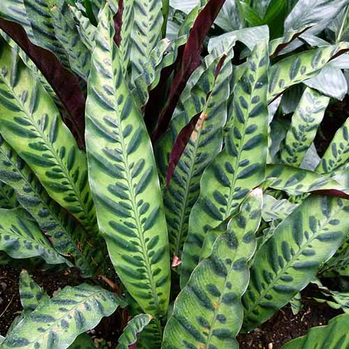 A close up square image of a Goeppertia insignis, rattlesnake plant with variegated foliage.