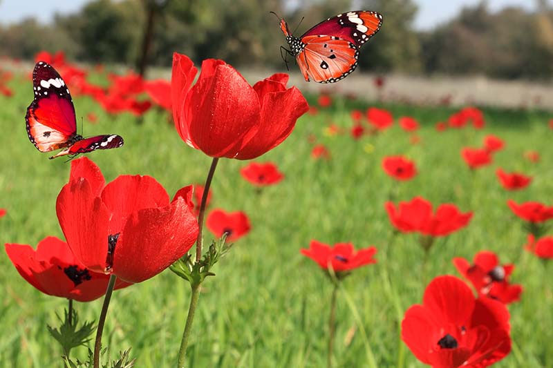A close up horizontal image of bright red poppy-like flowers growing in the garden with butterflies landing on the blossoms, pictured on a soft focus background.