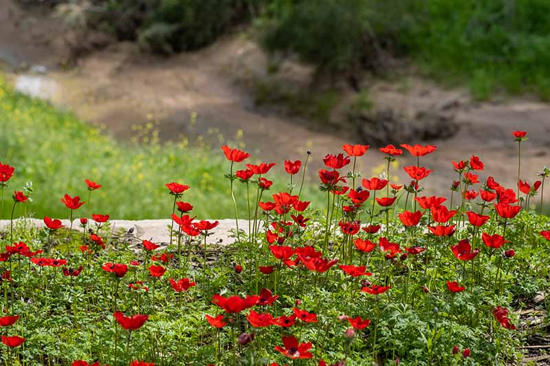 A close up horizontal image of bright red poppy-like anemone flowers mass planted in the garden pictured on a soft focus background.