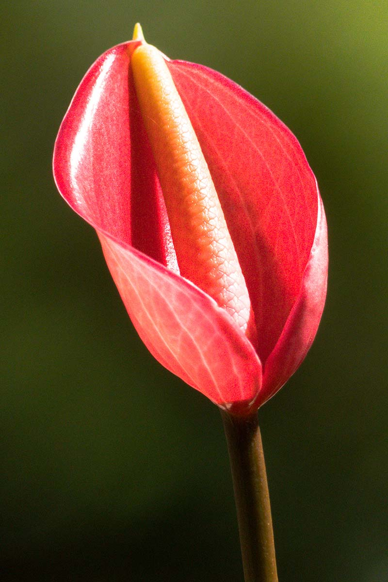 A close up vertical image of a bright red spathe of a Spathiphyllum plant pictured on a soft focus background.