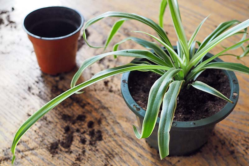 A close up horizontal image of a spider plant in a small black plastic pot set on a wooden surface with an empty pot in soft focus in the background.