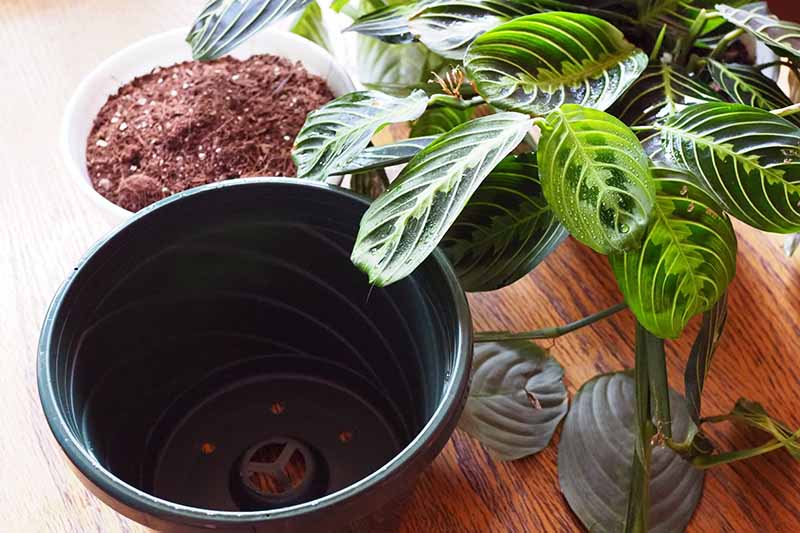 A close up horizontal image of a prayer plant to the right of the frame and on the left a white bowl with fresh potting soil and a black plastic pot a few sizes larger for repotting, set on a wooden surface.