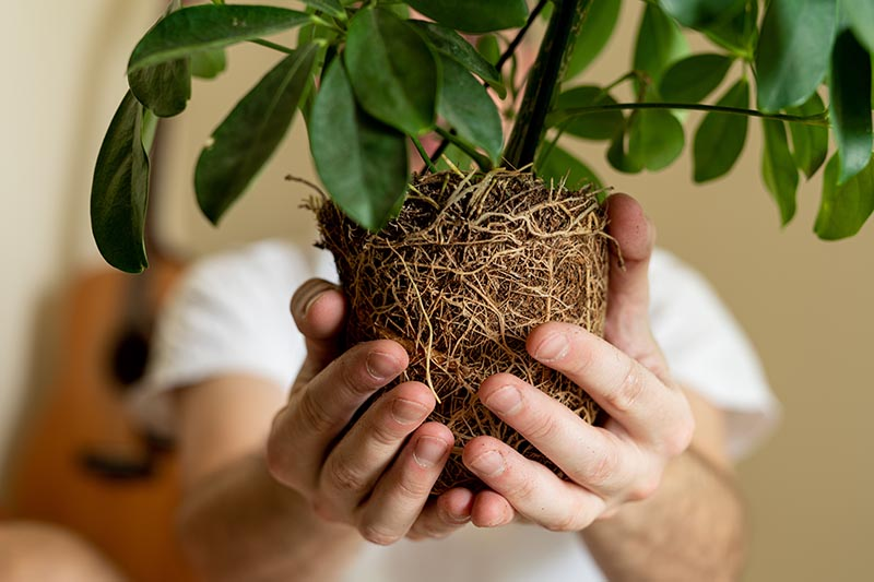 A close up horizontal image of two hands holding a root ball of a plant removed from a pot for replanting.