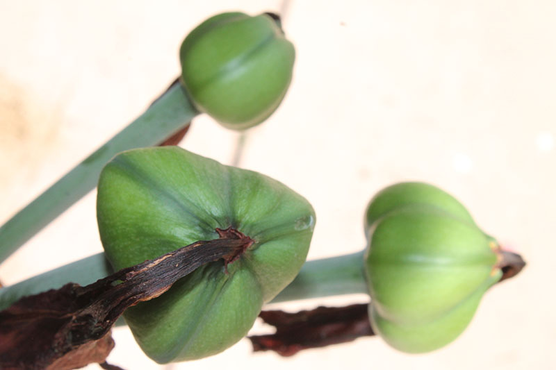 A close up of Hippeastrum pods developing after the flower has faded, pictured on a soft focus background.