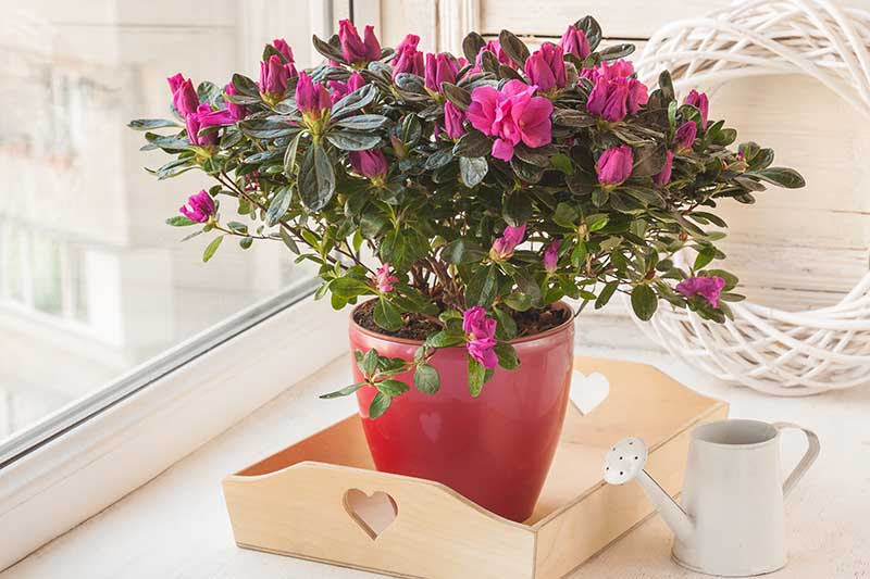 A close up horizontal image of a potted azalea set on a wooden tray in a windowsill with a small watering can to the right of the frame.