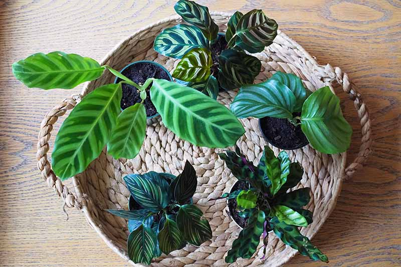 A top down horizontal image of a collection of prayer plants with different patterned foliage set on a wicker tray.