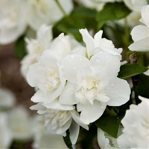 A close up square image of the bright white blooms of Philadelphus 'Snow White Sensation' growing in the garden pictured on a soft focus background.