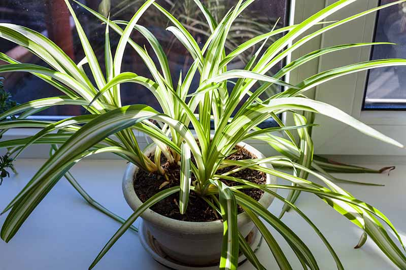 A close up horizontal image of a Chlorophytum comosum growing on a windowsill in light filtered sunshine.
