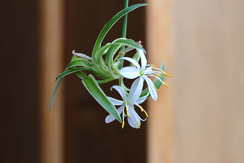 A close up horizontal image of an offset spiderette produced by a spider plant that can be cut off and replanted, pictured on a soft focus background.