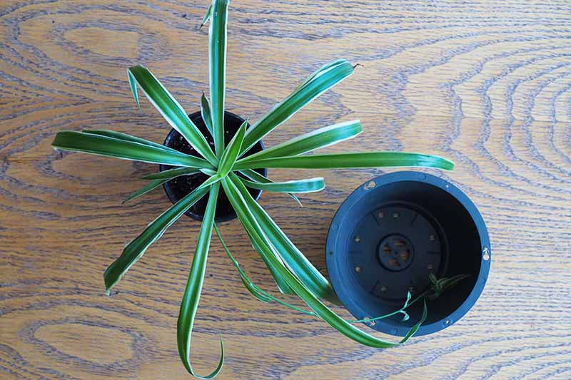 A close up top down image of a small Chlorophytum comosum in a pot, with a larger pot to the right of the frame, set on a wooden surface.
