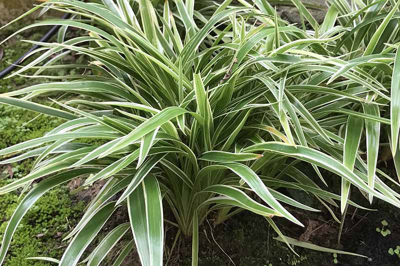 A close up horizontal image of spider plants growing outdoors in their native, tropical habitat.