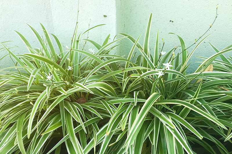 A close up horizontal image of Chlorophytum comosum growing outdoors outside a residence.