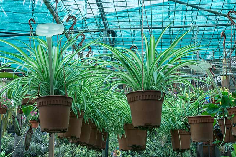 A close up horizontal image of a garden nursery with several hanging pots of spider plants for sale.
