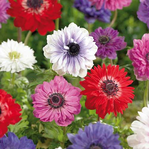 A close up square image of red, white, blue, pink, and bicolored 'St Brigid' anemones growing in the garden pictured on a soft focus background.