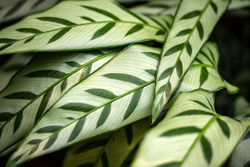 A close up horizontal image of the foliage of Goeppertia concinnea prayer plant pictured on a soft focus background.