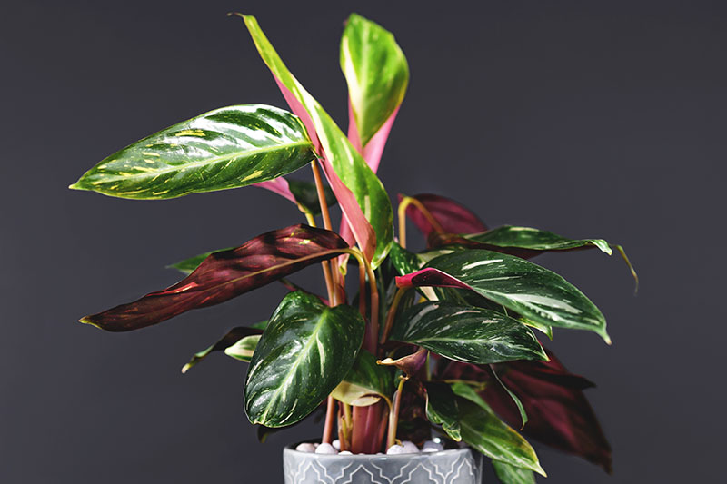 A close up horizontal image of a 'Magic Star' stromanthe plant growing in a decorative pot pictured on a dark gray soft focus background.