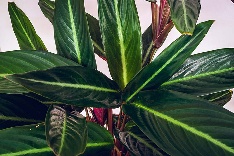 A close up horizontal image of the foliage of Stromanthe thalia growing indoors pictured on a light background.