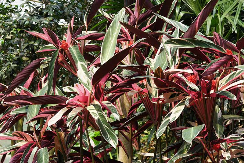 A horizontal image of the bright foliage of Stromathe thalia 'Tricolor' prayer plant growing outdoors in a tropical location.