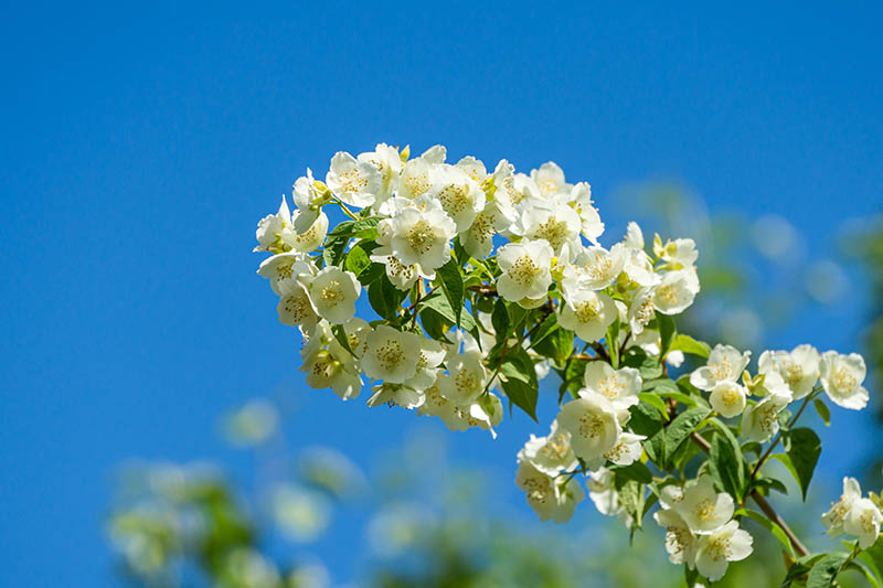 A close up horizontal image of the white spring blooms of the mock orange shrub, pictured on a blue sky background.