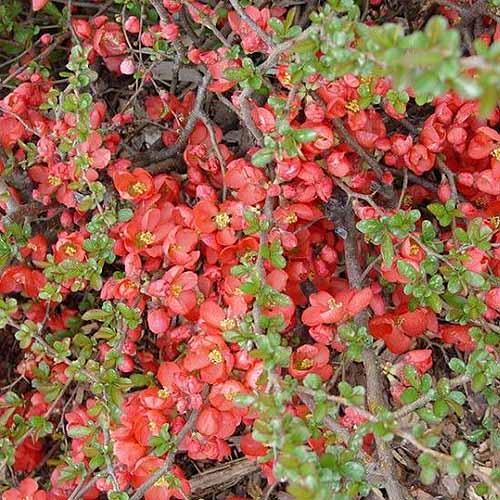 A close up square image of Chaenomeles japonica 'Texas Scarlet' with bright red blooms growing in the garden.