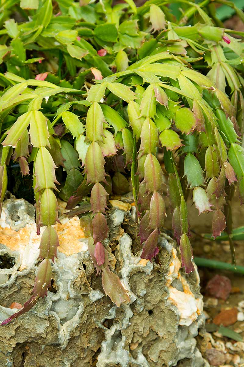 A close up vertical image of a Schlumbergera plant growing outdoors in a rocky environment.