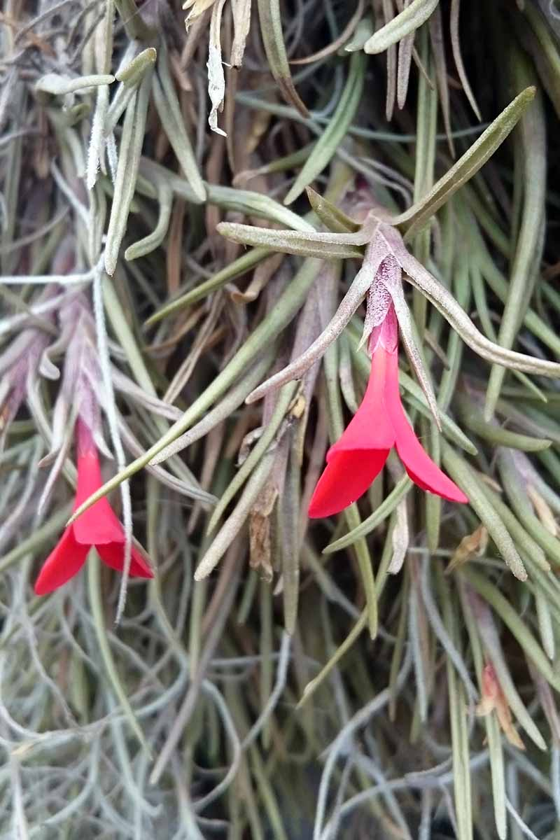A close up vertical image of T. alberitana with bright red flowers growing in the garden, fading to soft focus in the background.