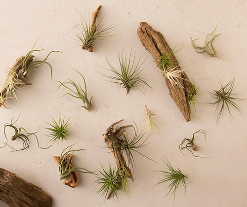 A close up horizontal image of a selection of different air plants set on a white surface.