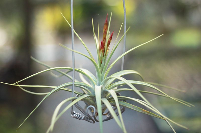 A close up horizontal image of Tillandsia concolor growing on a wire frame pictured on a soft focus background.