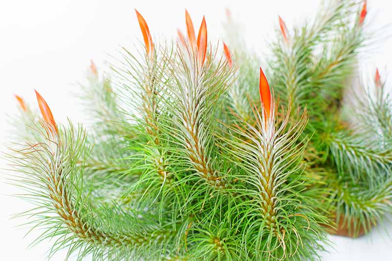 A close up horizontal image of Tillandsia funckiana with bright orange tips pictured on a white background.