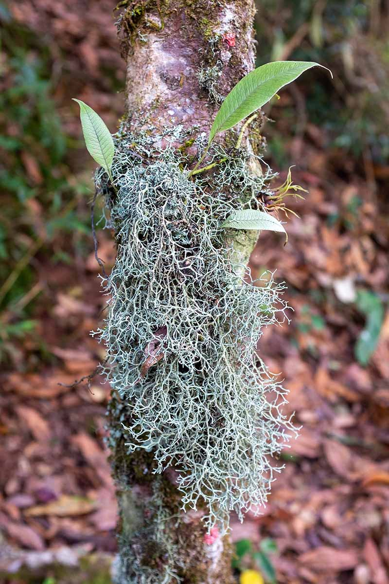 A close up vertical image of air plants growing outdoors on the trunk of a tree, pictured on a soft focus background.
