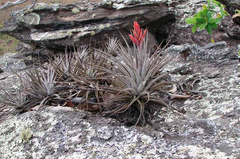 A close up horizontal image of Tillandsia didisticha growing outdoors in a rock garden.
