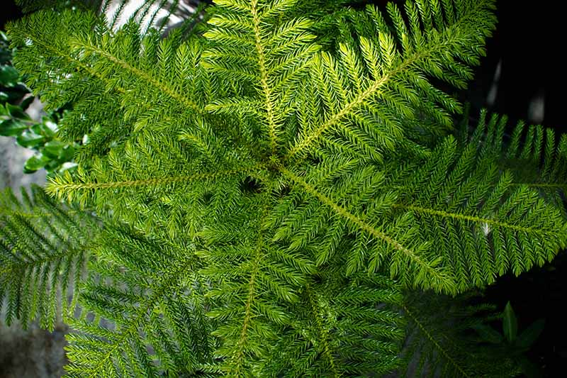 A close up top down horizontal image of the leaves of a Norfolk Island pine tree growing in a container.