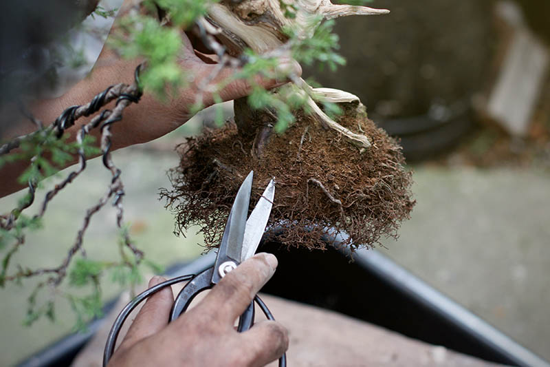 A close up horizontal image of two hands with bonsai pruning scissors cutting the roots of a plant before repotting.