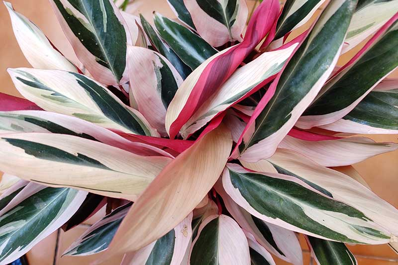 A close up horizontal image of Stromanthe thalia 'Triostar' growing in a pot indoors pictured on a soft focus background.
