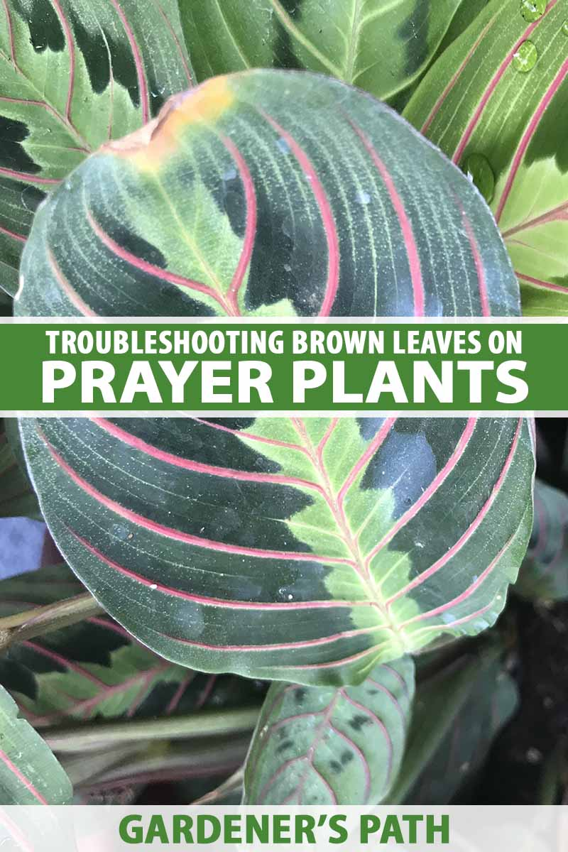 7 Of The Top Reasons For Brown Leaves On Prayer Plants Gardener S Path