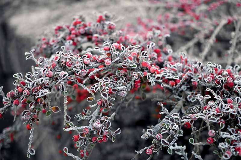 A close up horizontal image of a cotoneaster shrub, with evergreen foliage, and bright red berries, covered in frost, pictured on a soft focus background.