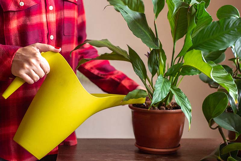 A close up horizontal image of a person to the left of the frame holding a yellow watering can applying water to a peace lily plant growing in a ceramic pot.