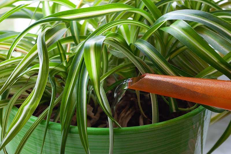 Una imagen horizontal de primer plano de una boquilla de lata regando una planta de interior.