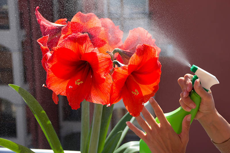 A close up horizontal image of a hand from the right of the frame misting a Hippeastrum flower with a spray bottle, pictured in light sunshine on a soft focus background.