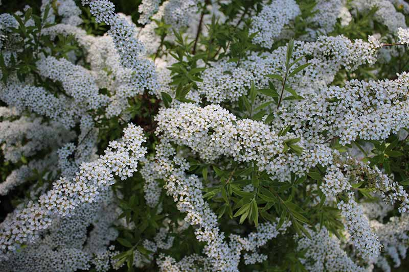 A close up horizontal image of clusters of white flowers growing in the garden in light filtered sunshine pictured on a soft focus background.